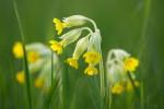 Echte Schlüsselblume (Primula veris)  / common cowslip
